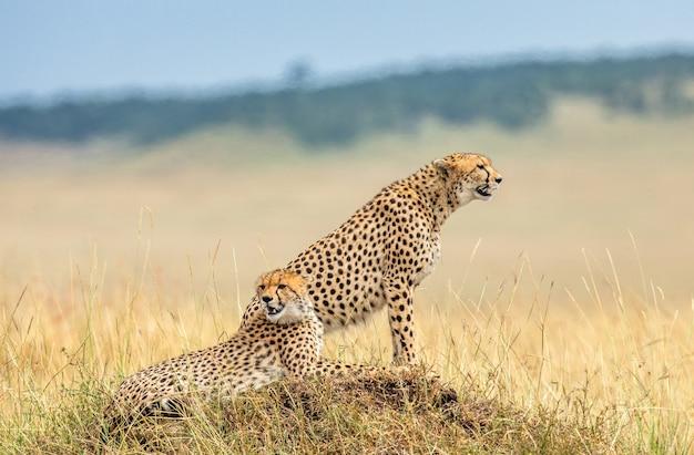 Два гепарда на холме в саванне.