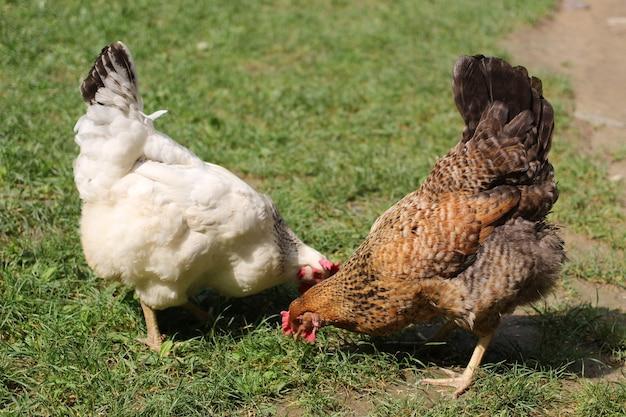두 마리의 닭이 풀밭에서 방목합니다.