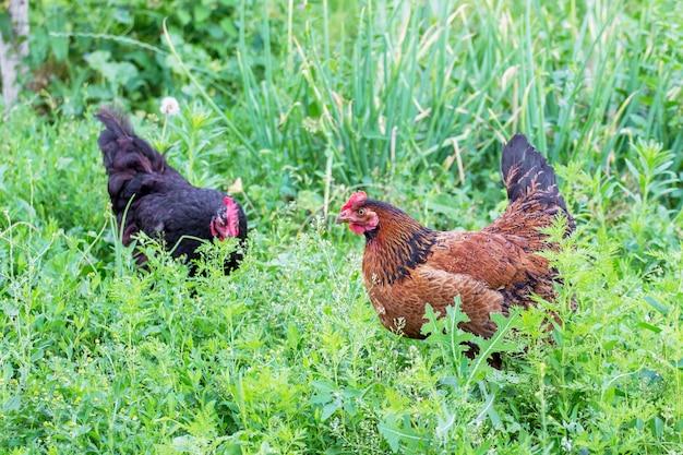 농장 정원에있는 두 마리의 닭이 잔디 위를 걷고 음식을 찾습니다.
