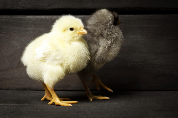Две курицы стоят у стены из темного дерева