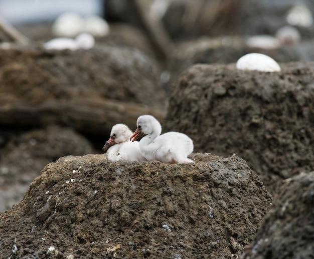 巣の中の2羽のひよこベニイロフラミンゴ