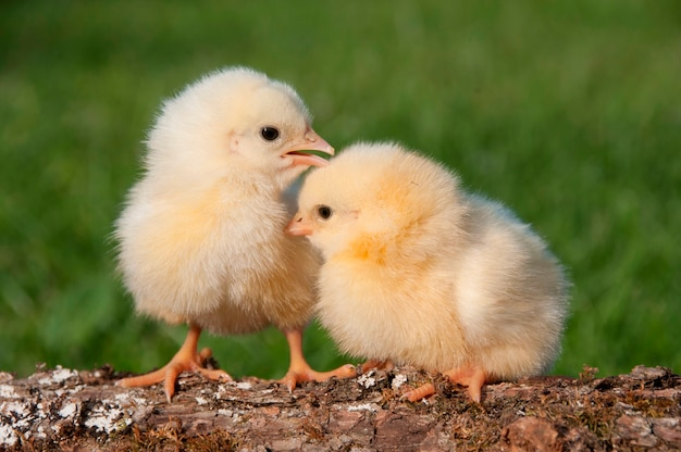 Two chicks on a log