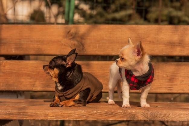 나무 벤치에 두 치와와 강아지입니다. 옷을 입은 개. 화창한 날에 산책하는 애완 동물. 치와와, 애완 동물
