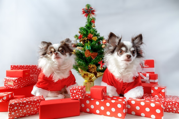 Two chihuahua dogs wearing a red christmas santa costumes with gift boxes and christmas tree