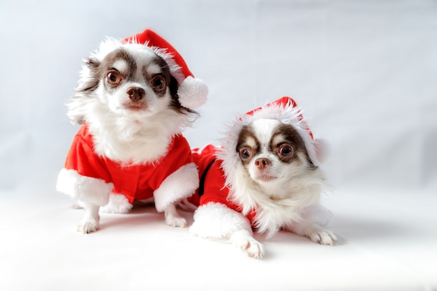 Two chihuahua dogs wearing a red christmas santa costumes