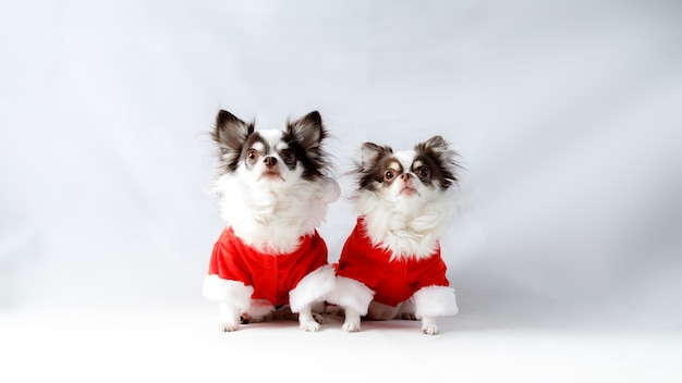 Two chihuahua dogs wearing a red christmas santa shirt costumes