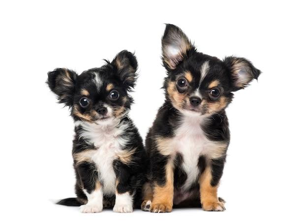 Два щенка чихуахуа перед белой стеной