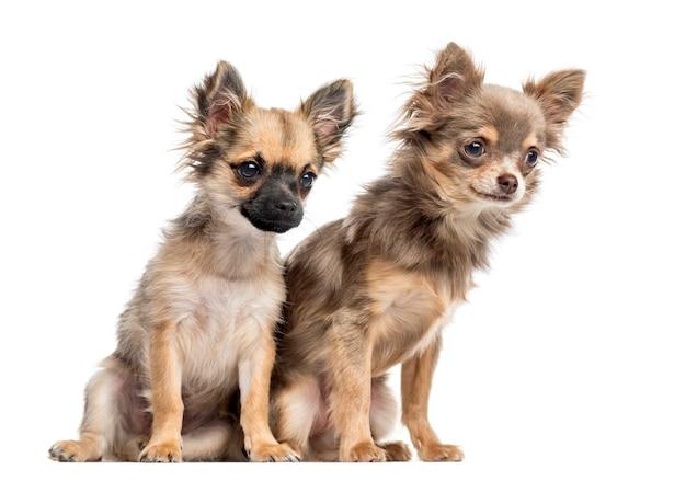 Два щенка чихуахуа, глядя вниз и в сторону от камеры