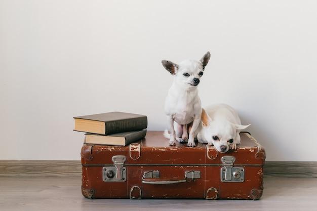 Два щенка чихуахуа лежат на чемодане