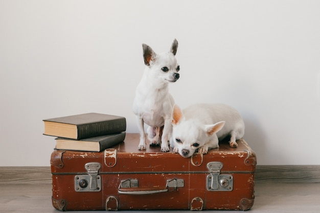 Two chihuahua puppies lying on suitcase