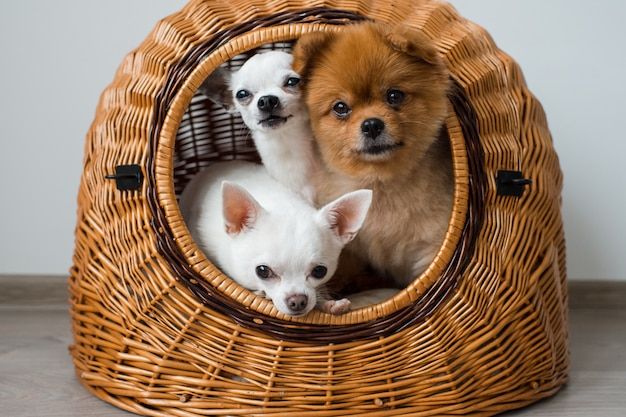 Two chihuahua puppies and pomeranian dog relaxing in their wicker dog house