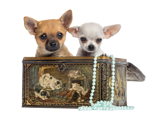 Two chihuahua puppies in a vintage box