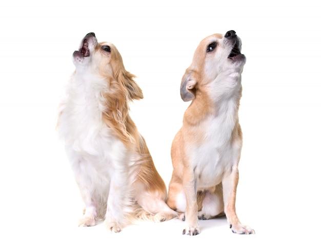 Two chihuahuas howling