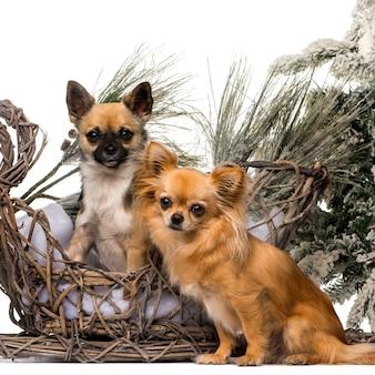 クリスマスの風景の前に2つのチワワ