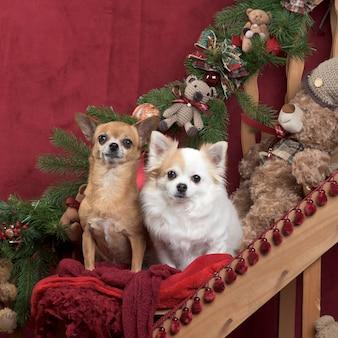 Два чихуахуа сидят в рождественских украшениях