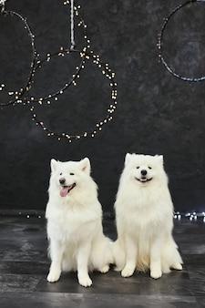 Two christmas dogs samoyed. christmas, winter concept.