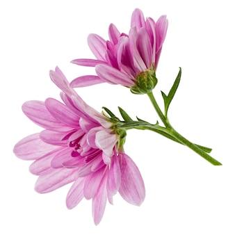 白い背景のクローズアップで分離された緑の茎を持つ2つの菊の花の頭