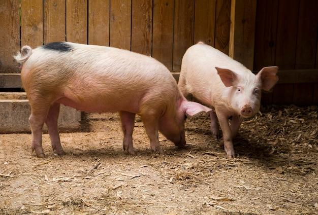 厩舎で2頭のきれいなピンクの国産豚