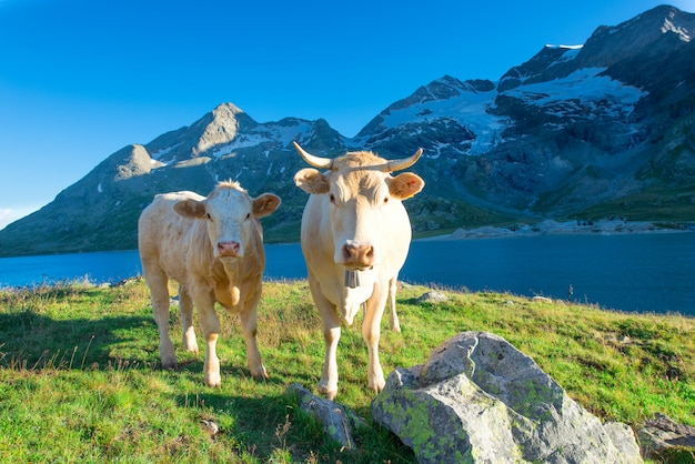 Two clear cows grazing in the high mountains