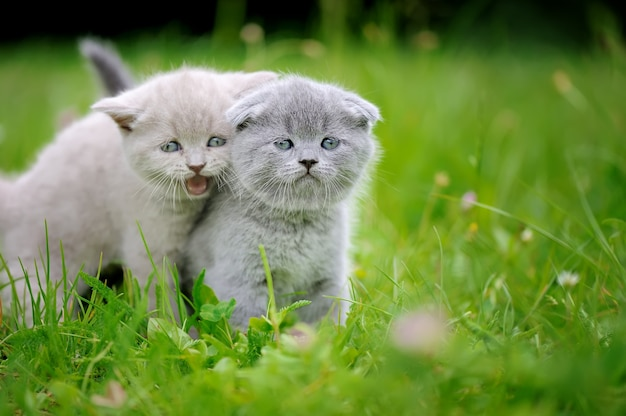Two close cute gray baby kitten in green grass