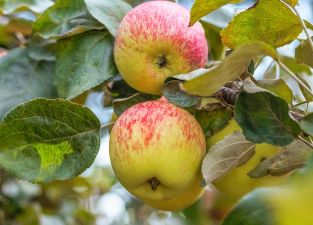 Two colorful apples on an apple tree branch close up.