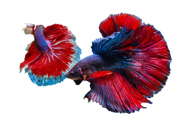 Two colorful betta fish chasing each other on a white background