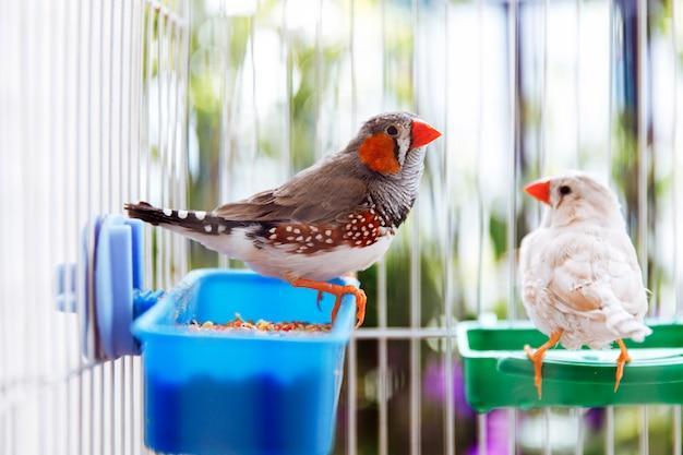 2つのカラフルなグレーと白の鳥ゼブラフィンチbirdds、taeniopygia guttata、バルコニー、ネイティブオーストラリア種のケージに座っています。