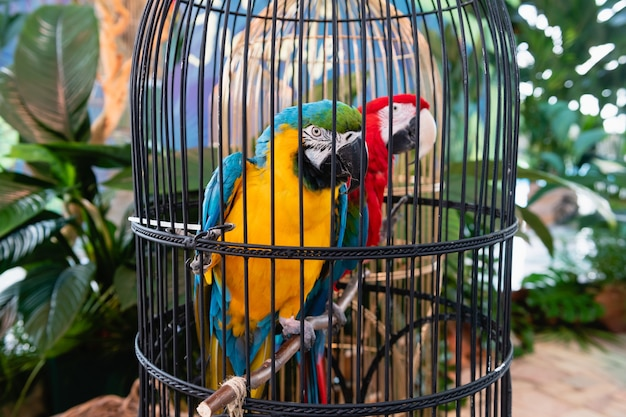 Two colorful parrots sit in black cage