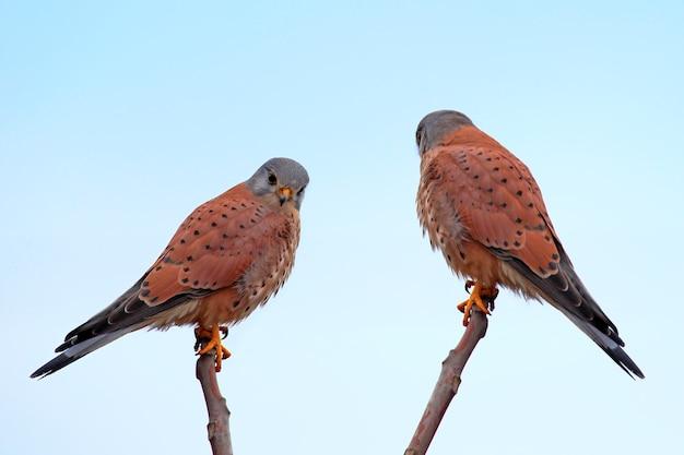 Две обыкновенные пустельги сидят на ветвях против голубого неба