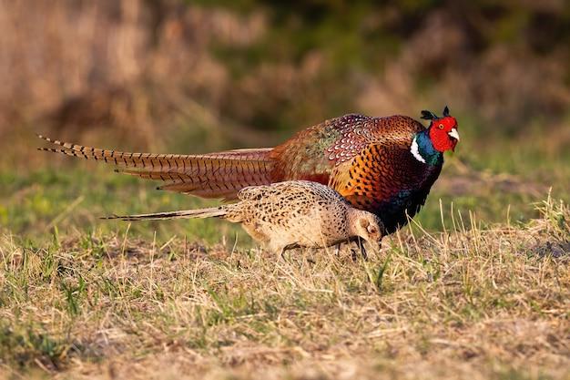 Два общих фазана, движущиеся на лугу в весенней природе