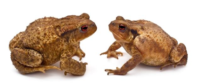 2つの一般的なヒキガエルまたはヨーロッパのヒキガエル-互いに向き合っているbufo bufo