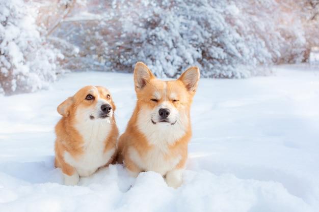 冬の散歩に2匹のコーギー犬