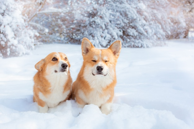 Two corgi dogs on a winter walk