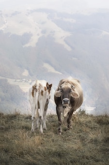 Two cows in the alps standing in front of camera