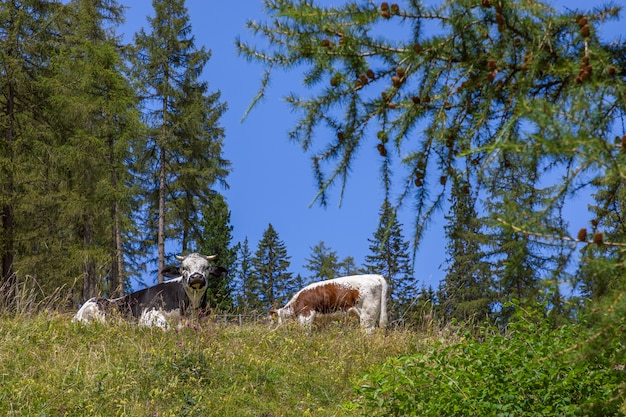 イタリアのドロミテの高山草原の芝生で2頭の牛が休んでいます。