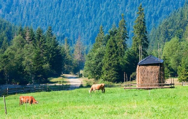 夏の朝の牧草地、カルパティア山脈、ウクライナで放牧している2頭の牛