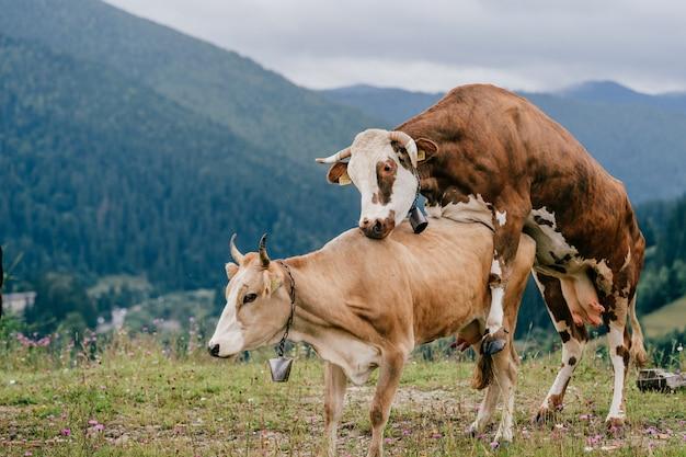山でセックスをする2頭の牛。