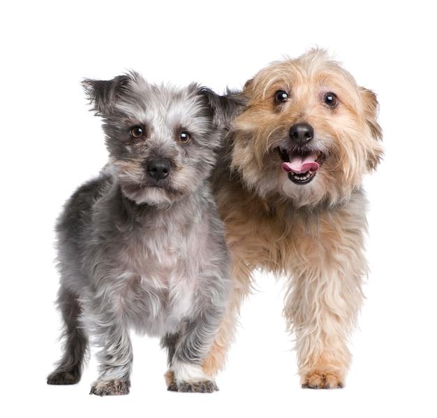 Две гибрида или смешанные собаки