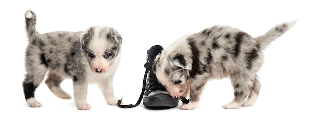 Two crossbreed puppies playing with a shoe isolated on white