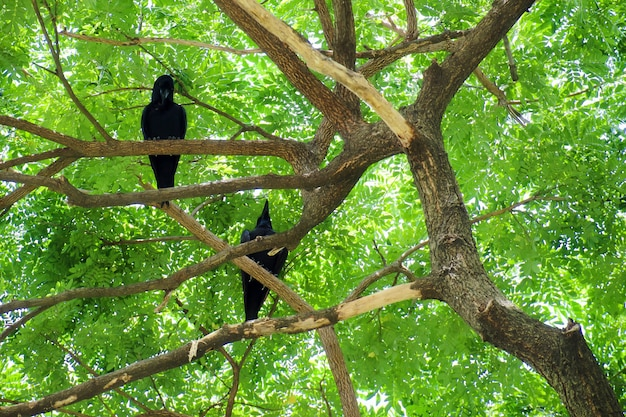 Two crow bird (corvus macrorhynchos) standing on the branches of the big rain tree.