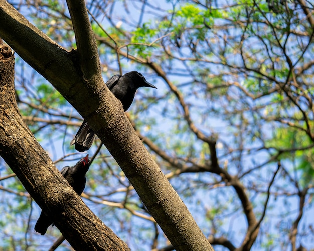 Two crows on the branch talking