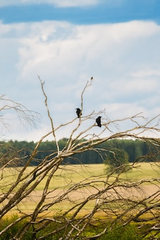 Two crows on the branches of an old tree