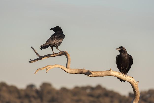 枝と背景の風景の上に腰掛けて2羽のカラス