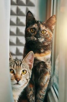 Две любопытные домашние кошки смотрят на камеру, маленький котенок выглядывает из-за занавески питомцев у окна пу ...