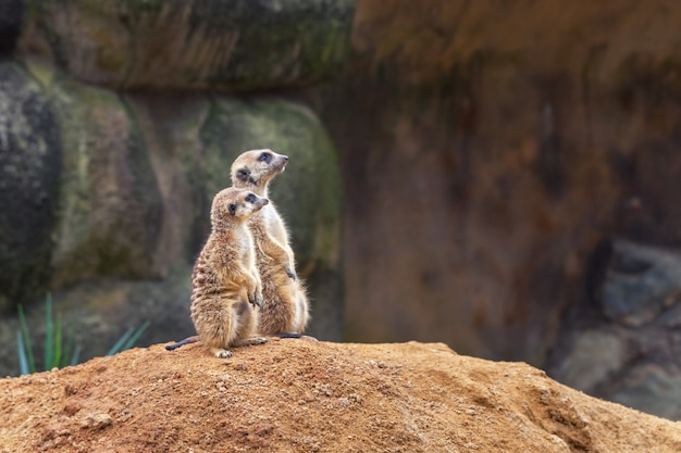Two curious meerkats stand on their hind legs on a sandy hill and look away.