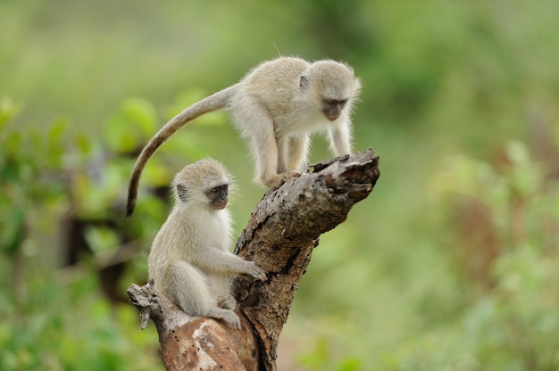 Two cute baby monkeys playing on a log of wood