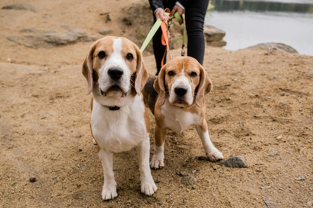 Two cute beagle dogs with collars and leashes chilling with their owner on sandy beach on autumn day