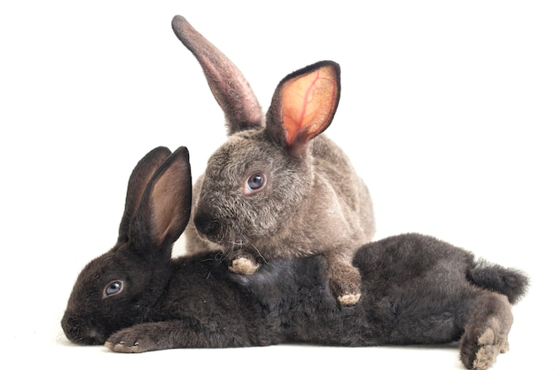 Два милых кролика черный и серый рекс на белом фоне