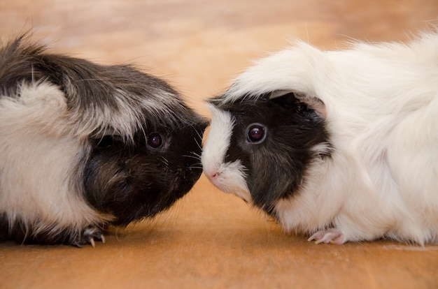 Two cute black and white abyssinian guinea pigs touching nose to nose