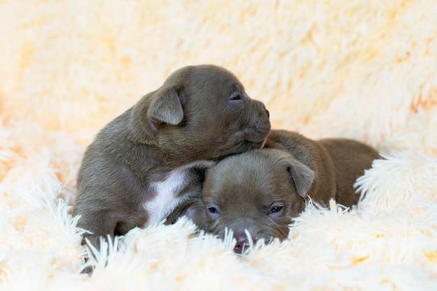 2つのかわいい品種アメリカンブリー子犬サービス犬クローズアップポストカードサービス犬赤ちゃん睡眠クローズアップポストカード